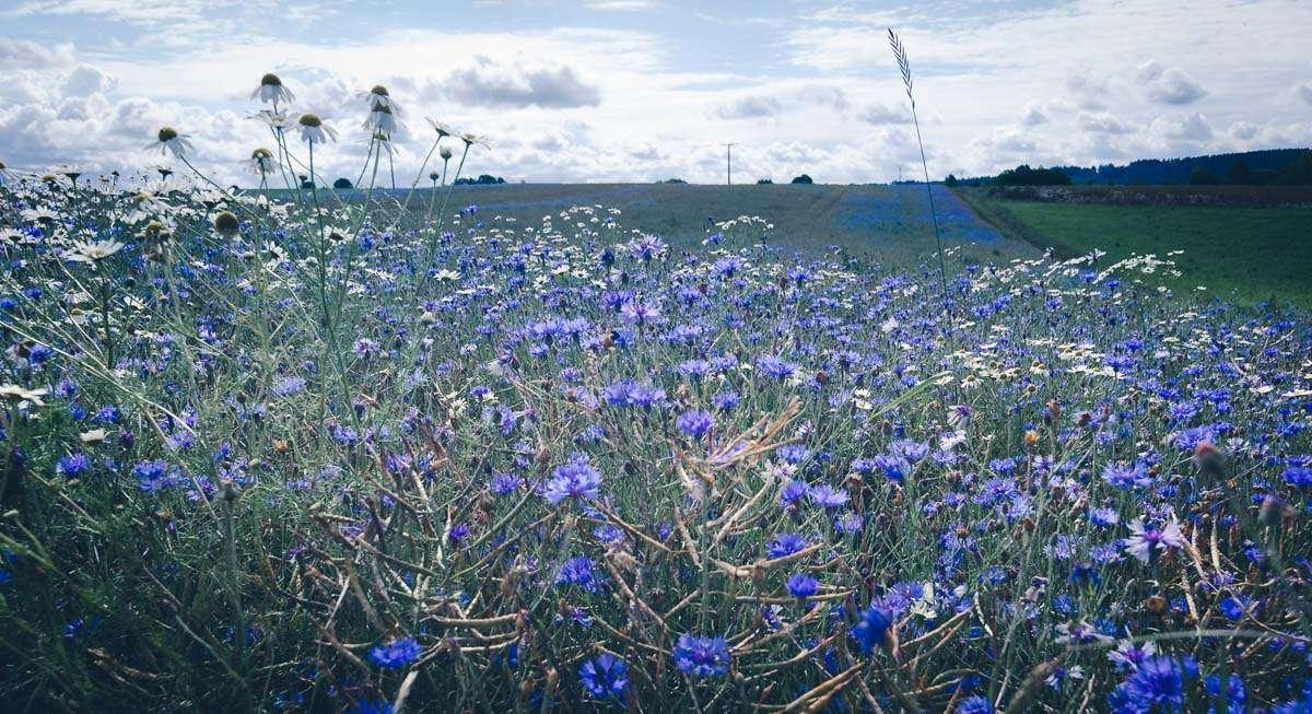 Blaue Kornblumen blühen am Wanderweg
