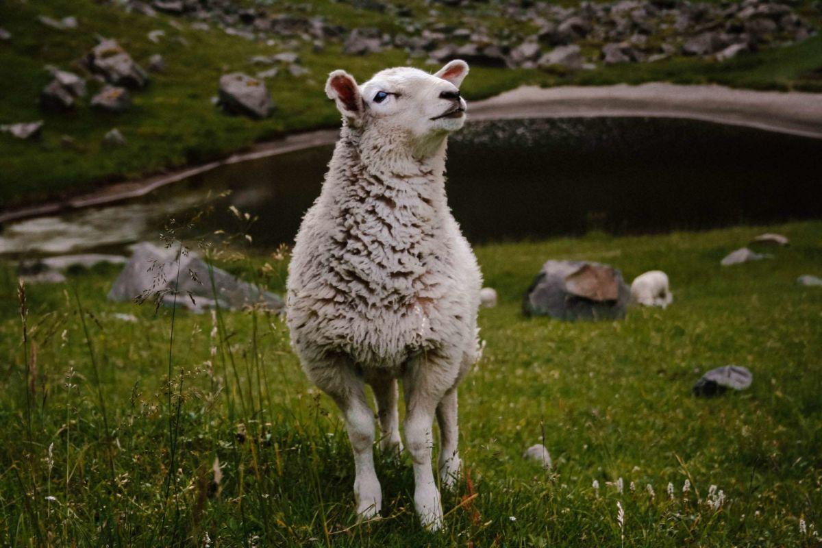 Unser Wanderfreund - ein dickes vorwitziges Schaf