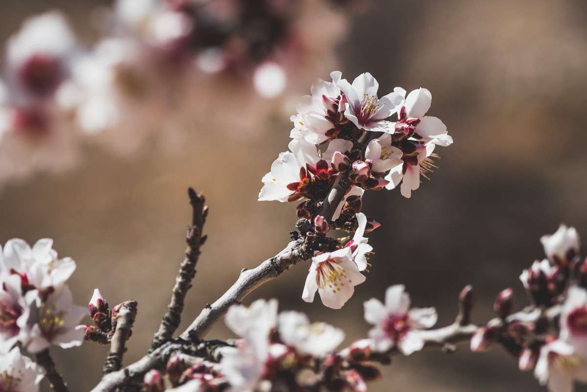 Die Mandelblüte ist in vollem Gang