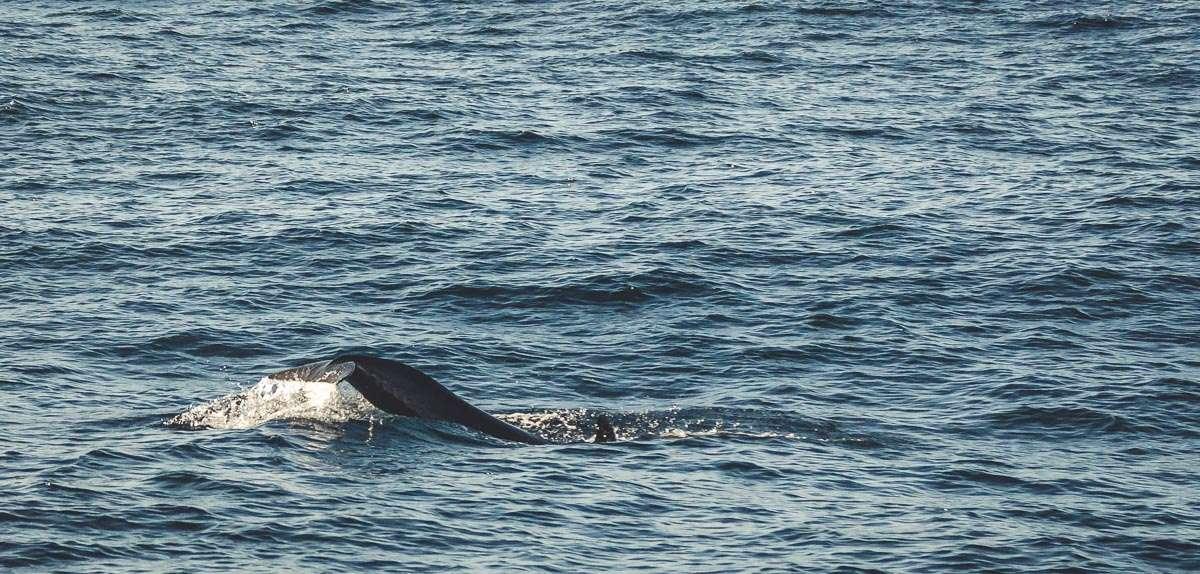 Die Schwanzflosse eines kleinen Schwertwales.