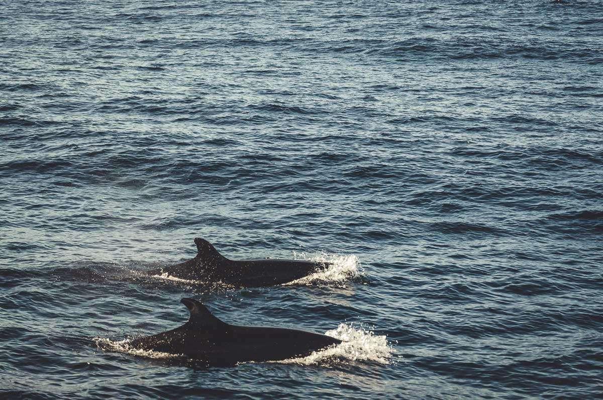 Zwei kleine Schwertwale auf den Azoren.