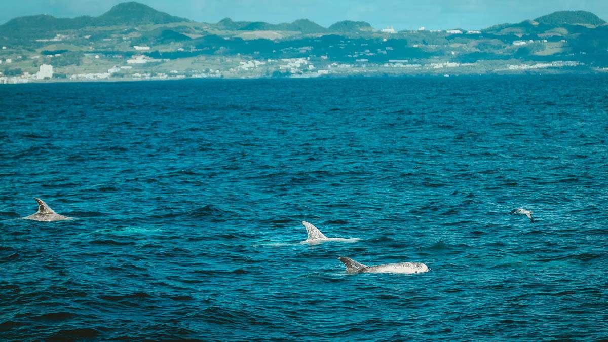 Weiße Rundkopf Delfine.