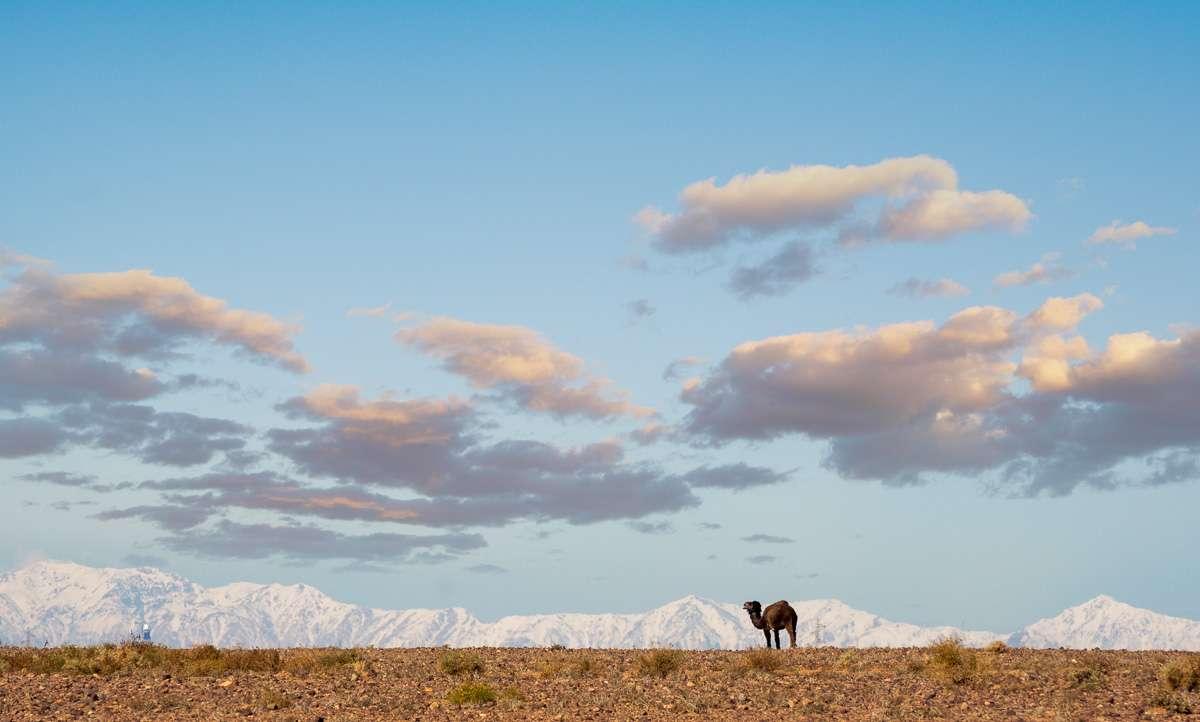Kamel und schneebedeckte Berge