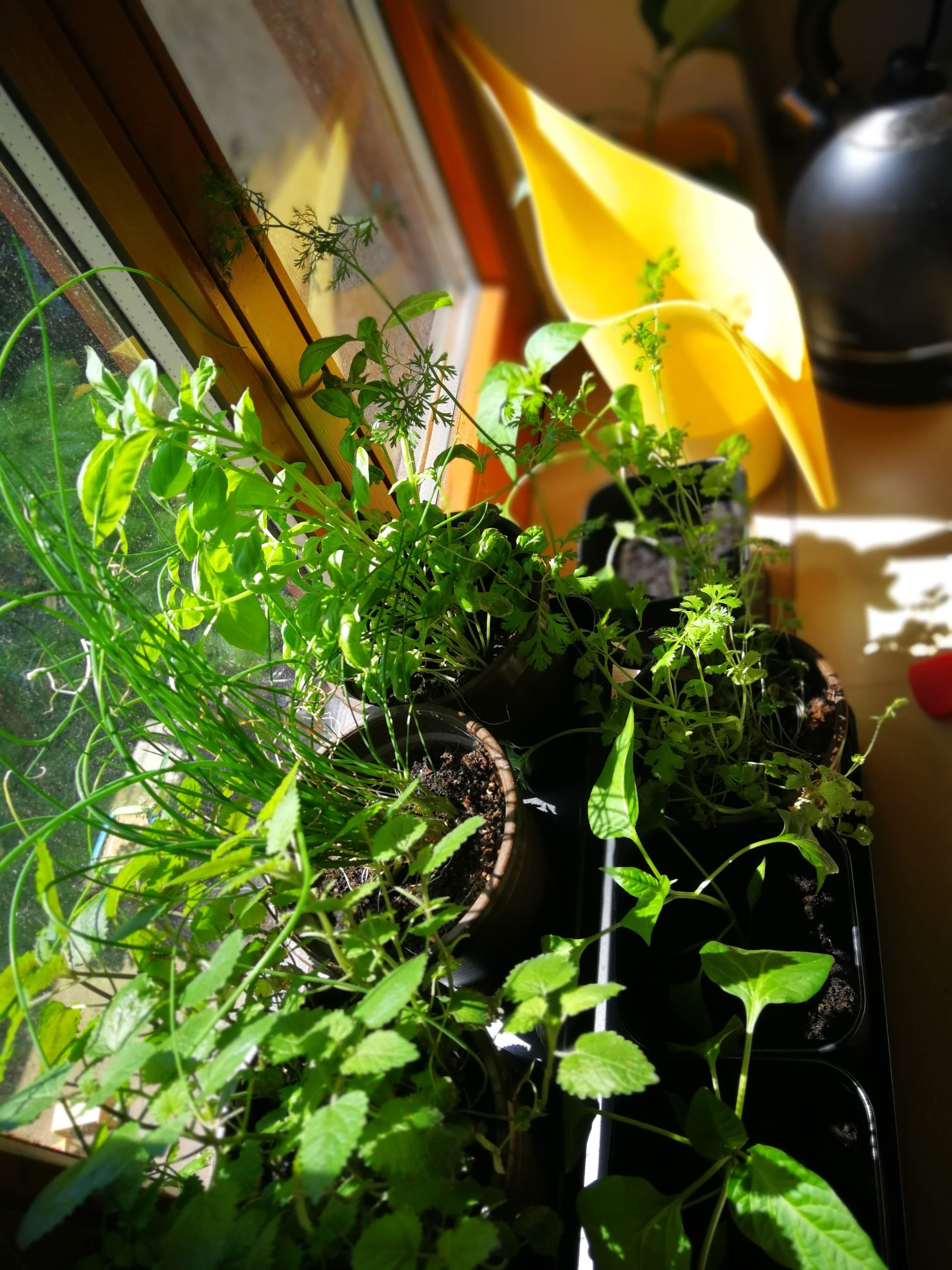 pflanzen-ohne-balkon-urban-gardening-kraeuter-gesund-lecker-vegan-ahoi-adventures